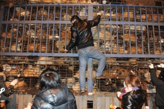 1,100 dogs destined for the slaughterhouse in Chongqing were saved (2012)