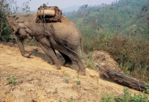 Asian elephant pulling log uphill  Photo by Zafer Kizilkaya