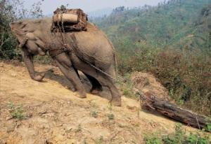 Asian elephant pulling log uphill  Photo by Zafer Kizilkaya