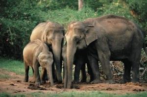 Asian elephants at mud-hole