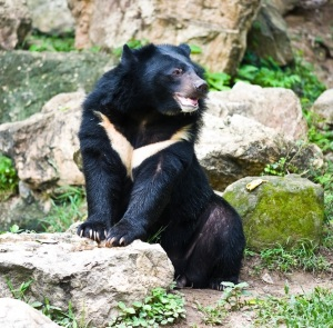Asiatic Black Bear, Himalayan Black Bear 2