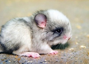 Baby chinchilla Lanigera