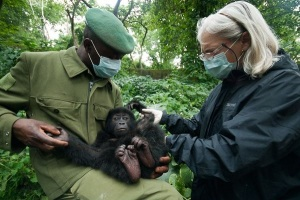 Baby Eastern lowland gorilla resued from poachers - Virunga Gorilla Park 2011 by LuAnne Cadd