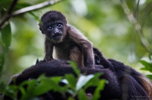 Baby howler monkey at the Sloth Sanctuary, Costa Rica by Jonathan Ley