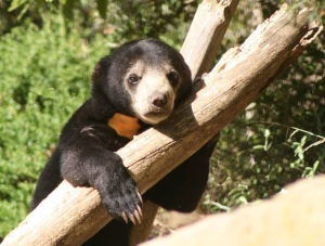 Baby sun bear Wellington Zoo