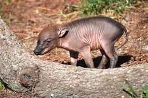 Babirusa piglet born Tampa's Lowry Zoo