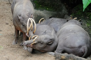 Babirusa group