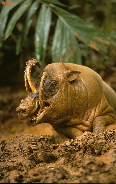 Babirusa wallowing in mud