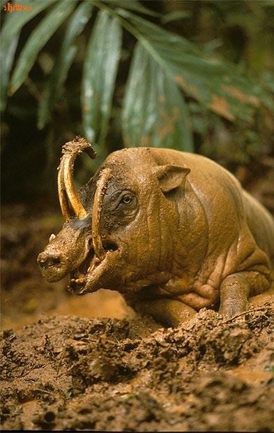 Babirusa wallowing in mud