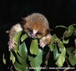 Berthe's mouse lemur