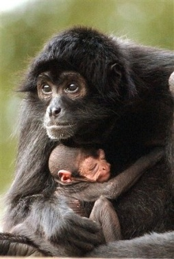 Black-headed spider monkey and baby