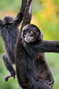 Black-headed spider monkey  by Tambako The Jaguar