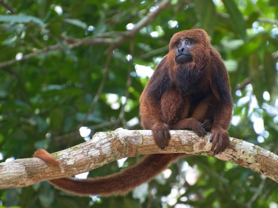 Brown howler monkey (Alouatta guariba)