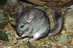 chinchilla - adult