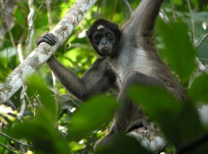 Ecuadorian brown-headed spider monkey