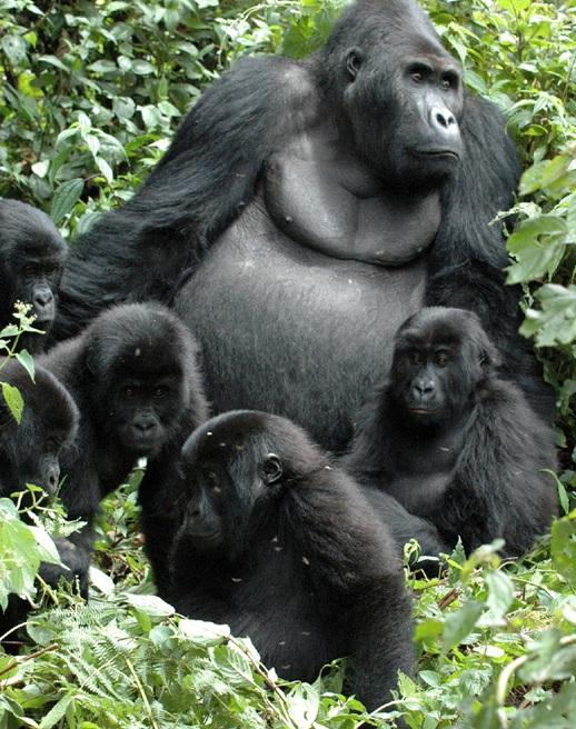 Grauer's Gorilla (Gorilla beringei graueri)