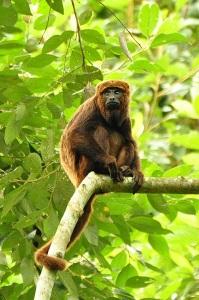 Howler monkey (Alouatta guariba) in Santa Maria de Jetiba, Brazil.