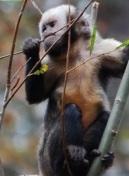Ka'apor Capuchin monkey