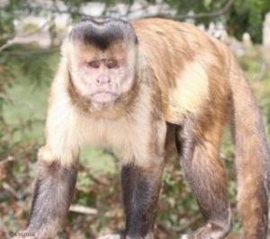 Ka'apor capuchin