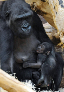 Kijivu, a captive lowland gorilla, feeds her one-day-old infant, at a zoo in Prague, Czech Republic, Sunday. Kijivu gave birth to the baby Photo Michal Dolezal