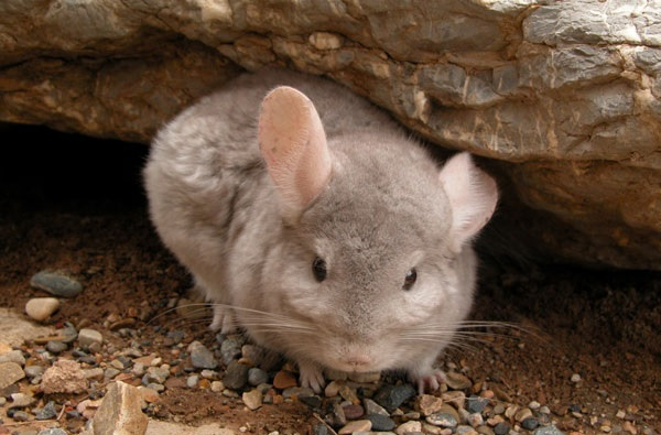 Long-tailed chinchilla (CR) Chinchilla lanigera
