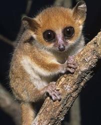 Madame Berthe's mouse lemur
