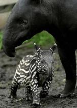 Malayan tapir and baby