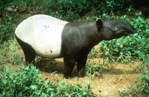 Malayan tapir - forestry commission Indonesia