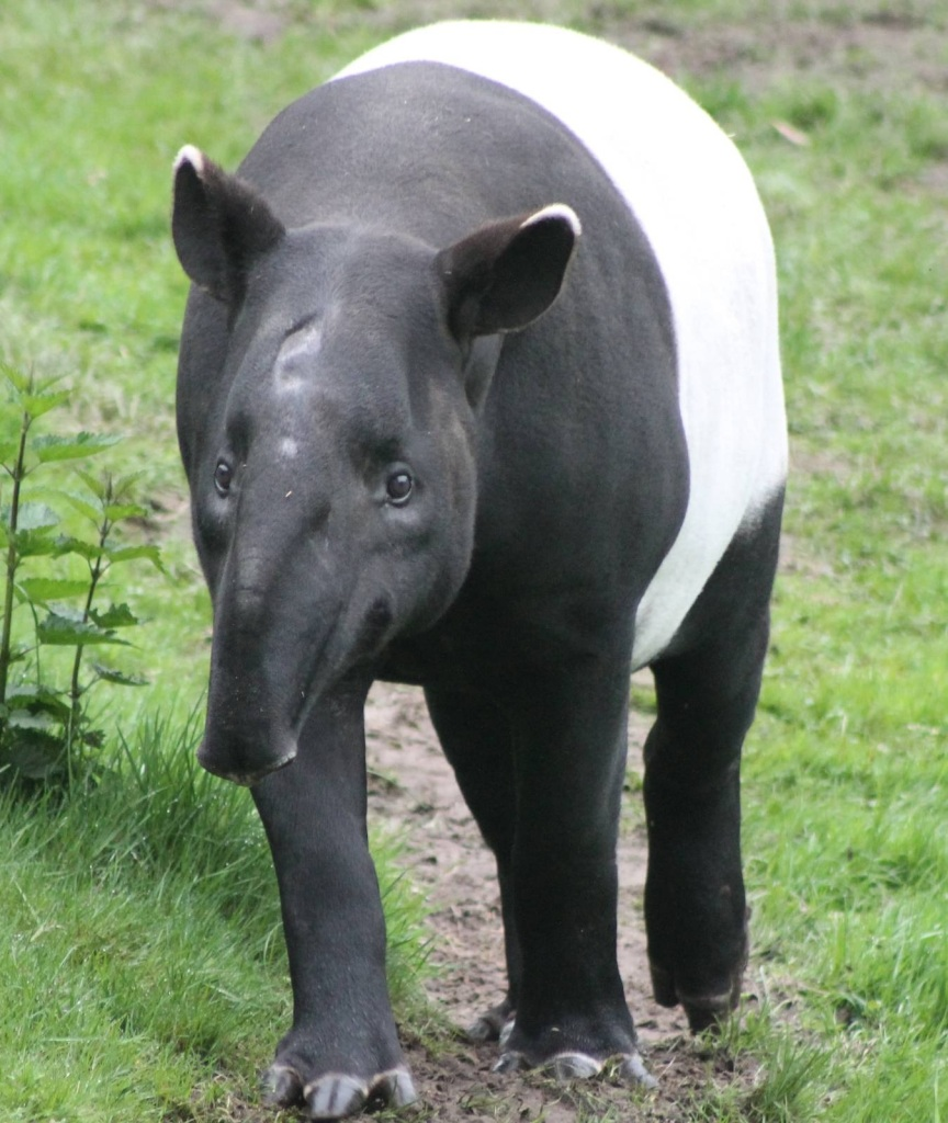 Malayan tapir in captivity