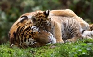 Malayan Tiger and cub