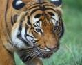Malayan tiger