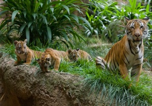Malayan tiger - Three-month-old Malayan tiger triplets at San Diego Zoo