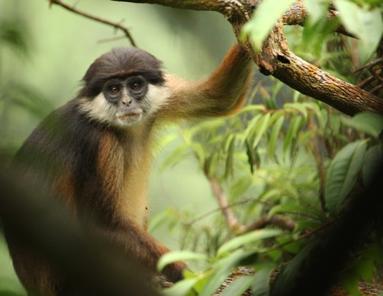 Pennant's Red Colobus