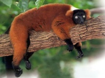 Red-ruffed lemur