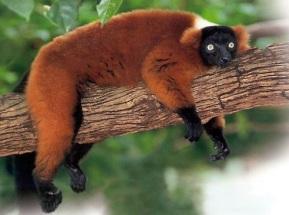 Red-ruffed lemur