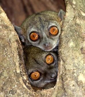 Sportive lemurs