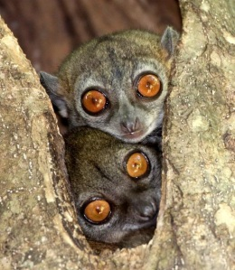 Sportive lemur 4 - Photo Credit Coke Smith