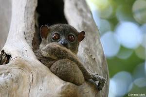 Sportive lemur 5