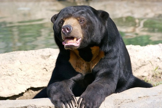 Sun Bear in captivity at the Columbus Zoo, Powell Ohio - Ryan E. Poplin