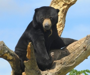 Sun bear in tree. Photographer credit - Ucumari