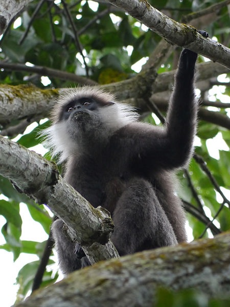 Purple-faced langur, in Athurugiriya, near Colombo, Sri Lanka