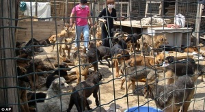 Volunteers walk among the 580 dogs at an animal centre after they were rescued for $17,000