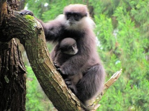 Western purple-faced langur with infant