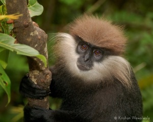Western purple-faced langur