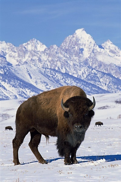 American bison - close up in the snow