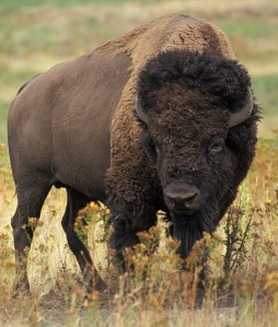 American bison - close up
