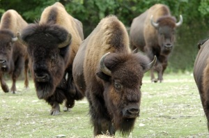 American bison herd from Nat Geographic