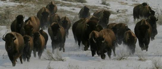American bison - stampede