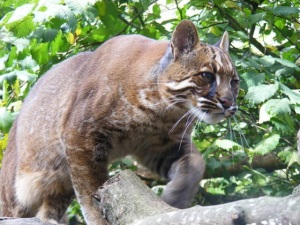 Asiatic golden cat at Edinburgh Zoo 2010