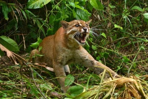 Asiatic golden cat caught in a trap